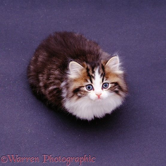 Bright brown Tabby-and-white fluffy kitten, 8 weeks old, crouched and looking up; from above