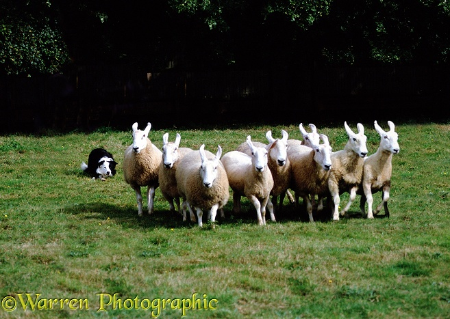 Border Collie Flynn rounding sheep