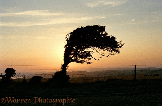 Wind-blown Hawthorn (Crataegus monogyna) tree at sunset.  Dorset, England