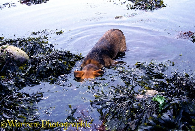 Lakeland Terrier x Border Collie, Bess 'shrimping' in a tide pool