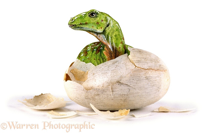 Hatching Hypsilophodon, white background