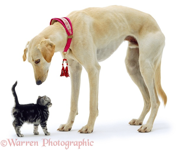 Saluki Lurcher and kitten