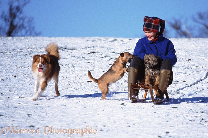 Ginney Tobogganing with dogs