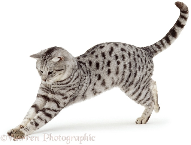 British Silver Spotted male cat, Zorro, playing with prey, a House Mouse (Mus musculus), white background