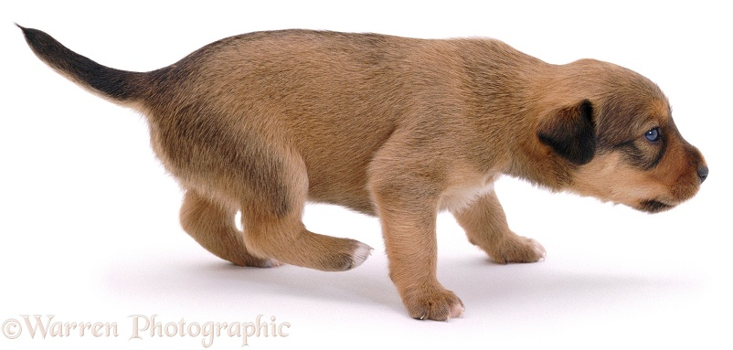 Lakeland Terrier x Border Collie pup, Joker, 3 weeks old, white background
