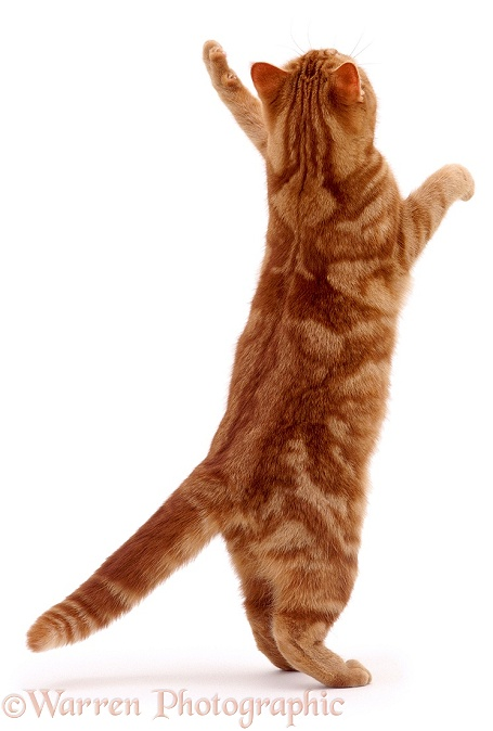 Ginger cat reaching up, white background