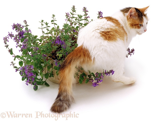 A cat investigating a catmint / catnip plant, white background