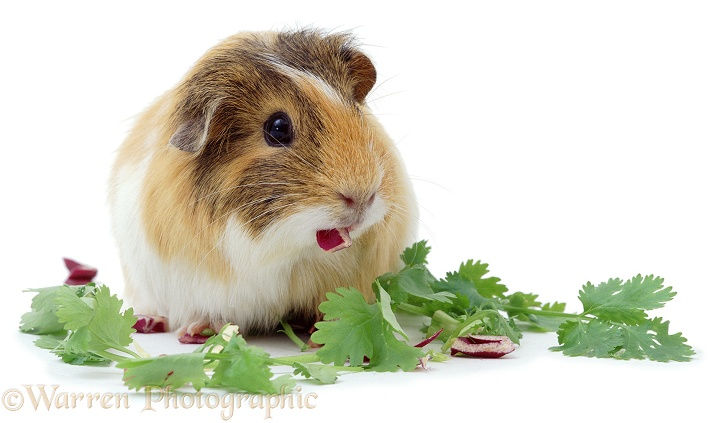 Female Guinea pig, Blondie, eating radishes and coriander leaves, white background