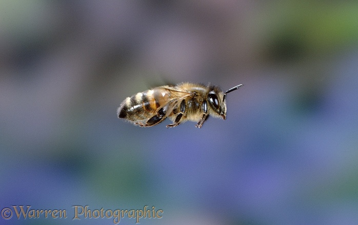 Honey Bee (Apis mellifera) worker in flight