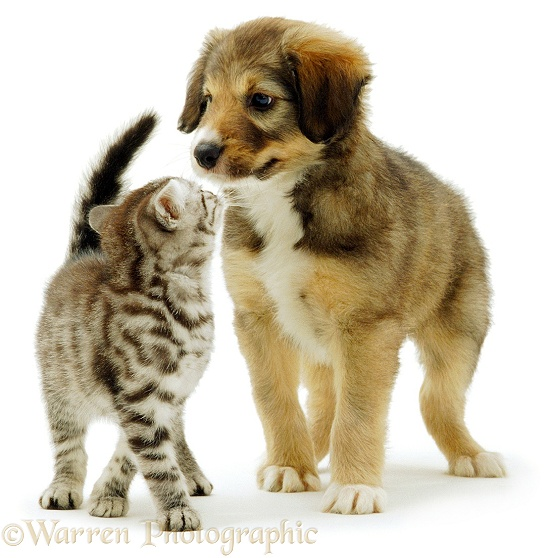 Silver Tabby kitten and Border Collie-cross puppy Dylan playing, white background