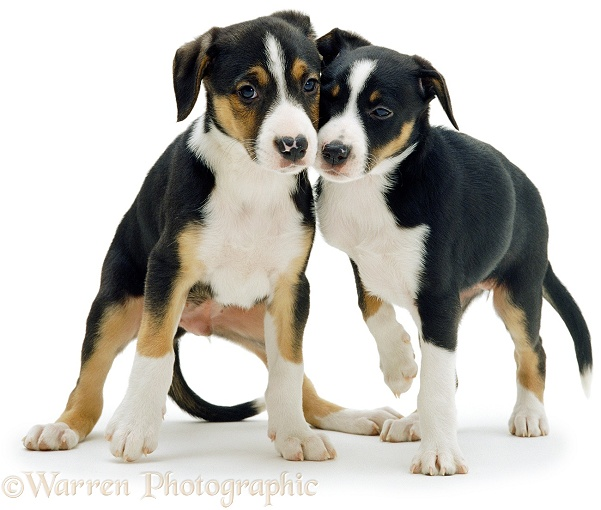 Two tricolour Border Collie pups, white background