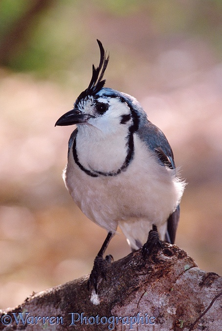 White throated Magpie-Jay (Calocitta formosa)