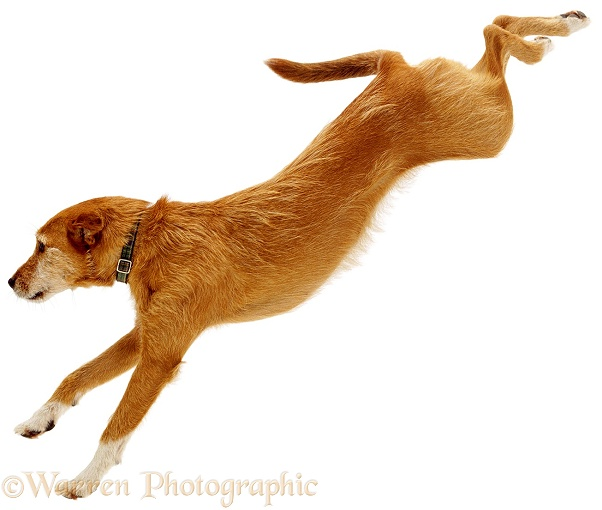 Lakeland Terrier x Border Collie, Tilly, jumping, white background