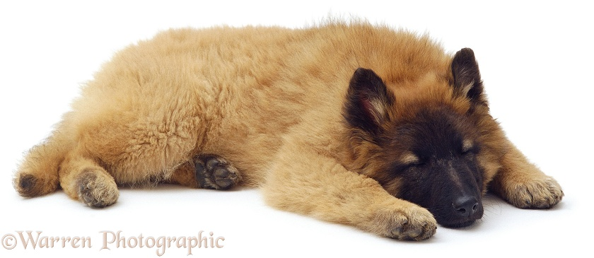 Belgian Shepherd (Tervueren) bitch puppy, Flyte, 15 weeks old, white background