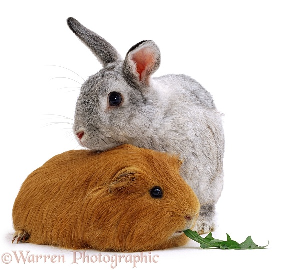 Rabbit and Guinea pig, white background