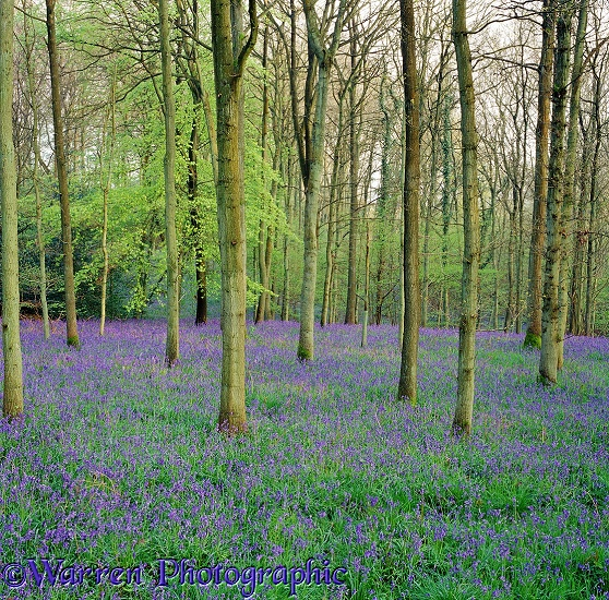 Bluebell woods 3D 2 R