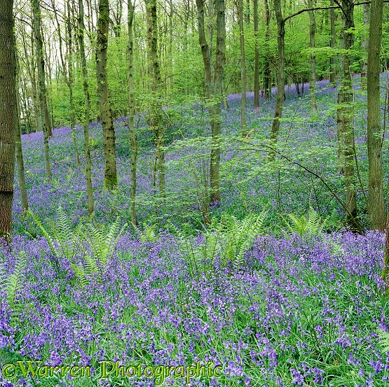 Woodland with Bluebells (Hyacinthoides non-scripta) and ferns.  Surrey, England