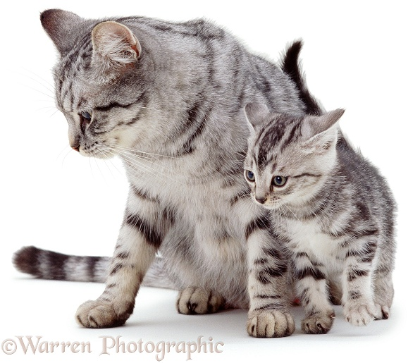Silver mother cat with kitten, white background