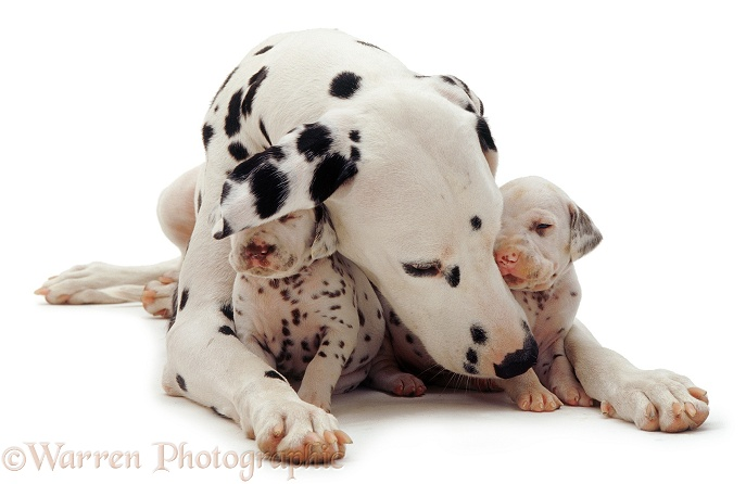 Dalmatian and pups, white background