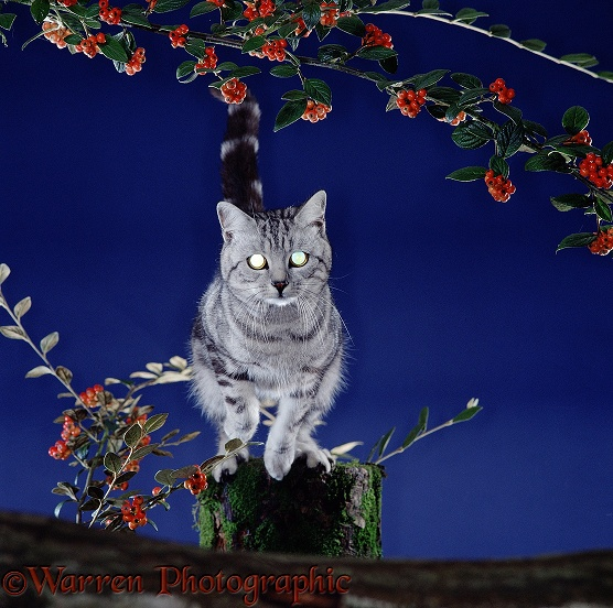 Silver tabby cat leaping at night