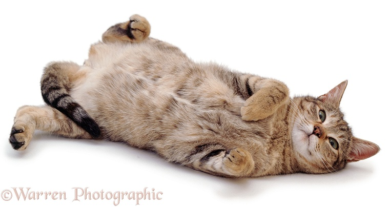 Oestrus female tabby cat, Dainty, rolling after mating, white background
