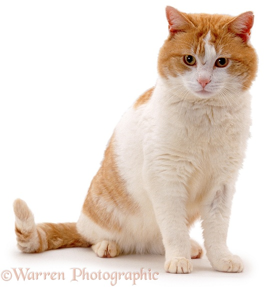 Male ginger-and-white alley cat Butch, showing facial disk, typical of entire tom, white background