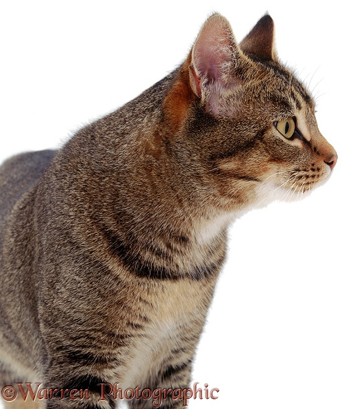 Tabby tom cat in profile, white background