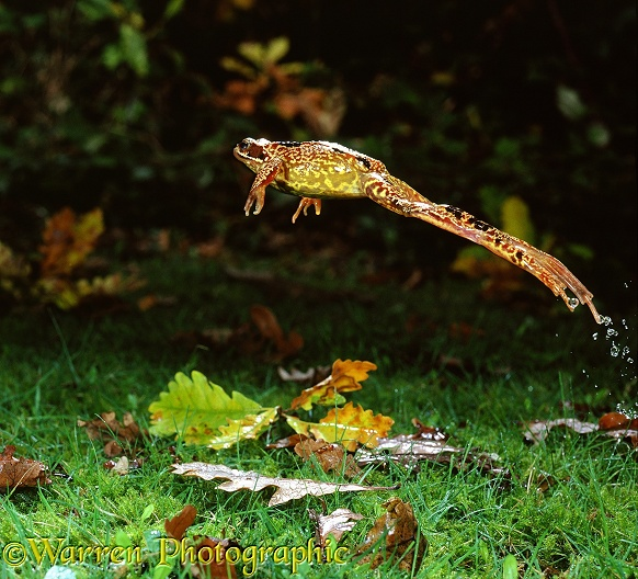 Common Frog (Rana temporaria) female leaping