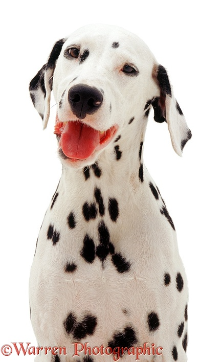 Dalmatian mother, white background