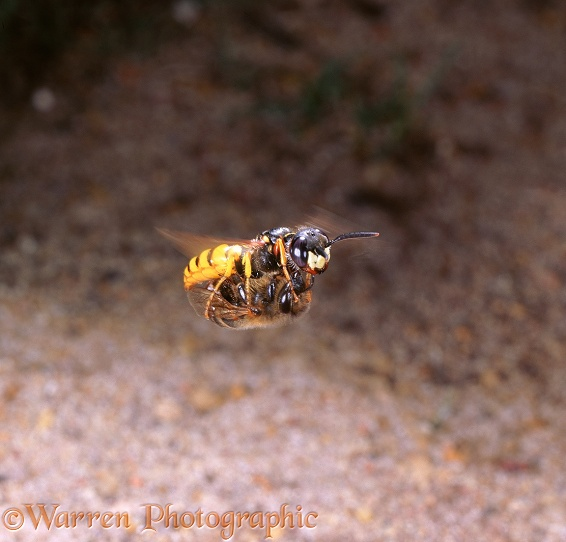 Bee-killer Wasp (Philanthus triangulum) female flying low over ground, carrying honey bee prey.  Europe