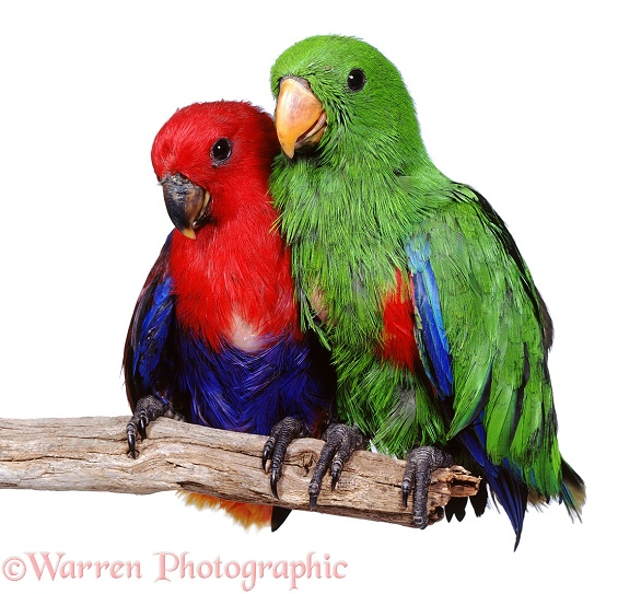 Young Eclectus Parrots (Eclectus roratus) about 12 weeks old, have left the nest. Their plumage resembles that of the adults': the female red and blue and the male green