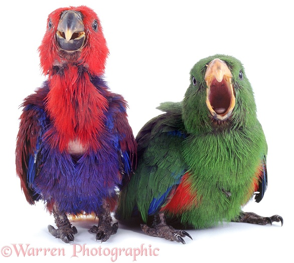 Eclectus Parrot (Eclectus roratus) nestlings in their first feathers. The female red and blue and the male green.  New Guinea, white background