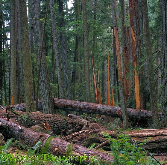 Forest of Douglas Firs (Pseudotsuga menziesii) with destruction after a storm.  Vancouver Island, Canada