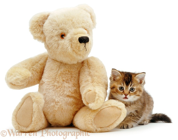 Kitten and teddy, white background