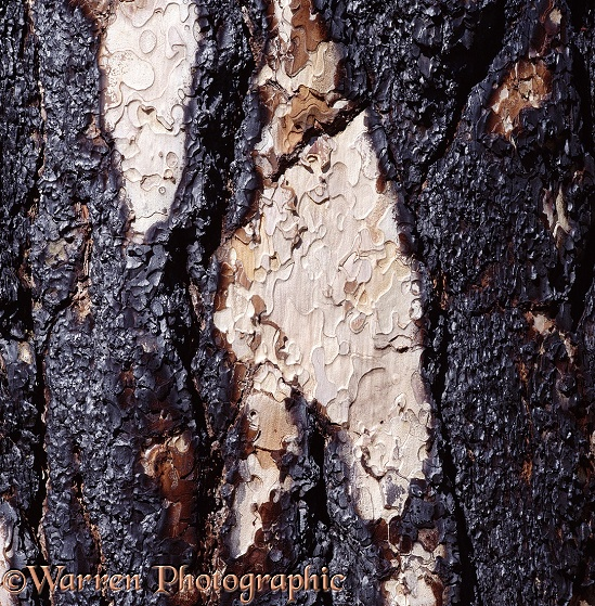 The partially burnt bark of a Ponderosa Pine (Pinus ponderosa). The tree survived.  North America