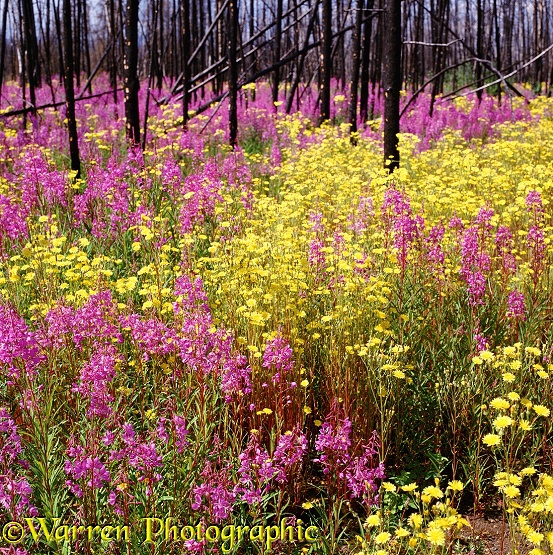 Fireweed (Epilobium angustifolium) and Hawksbeard (Crepis species) growing in profusion after a forest fire.  Yukon, Canada