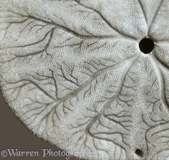 Detail of sand dollar shell.  Pacific coast, N. America