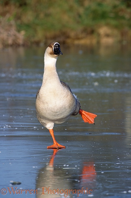 Chinese Goose (Anser cygnoides) on a frozen pond