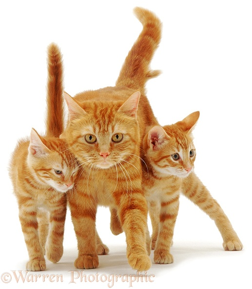 British Shorthair red tabby cat, Glenda, with two of her 12-week-old red kittens rubbing as they walk, white background