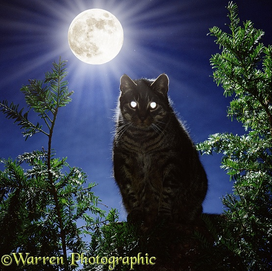 Tabby cat, out on moon-lit night, with eyes reflecting