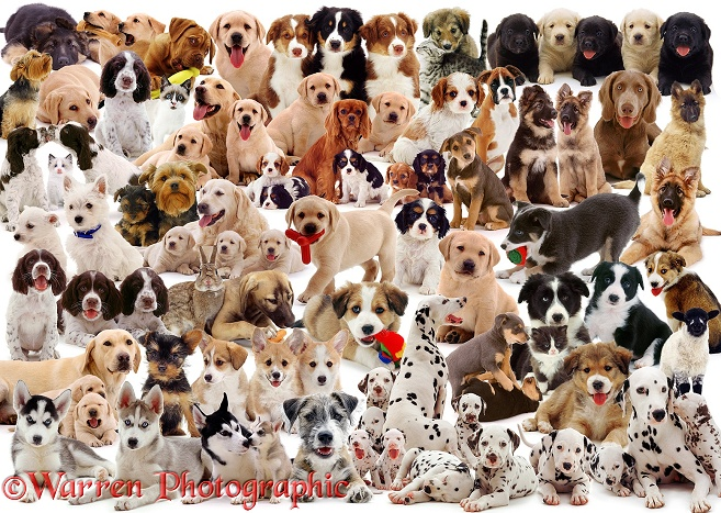 Puppies montage jigsaw, white background