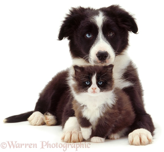 Black-and-white Border Collie puppy and kitten, white background