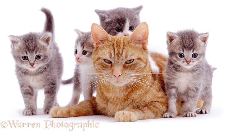 Ginger female cat, Lucky, with four foster kittens, white background