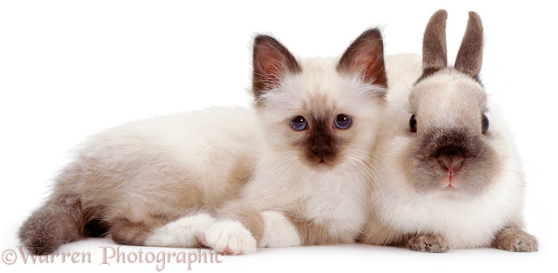 Seal-point Birman kitten Tiffany, with Seal-point Netherland Dwarf adult male rabbit Turbo, white background