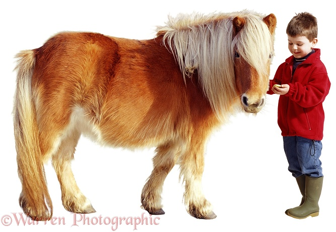Alfie (5) offering titbit to Shetland pony, white background