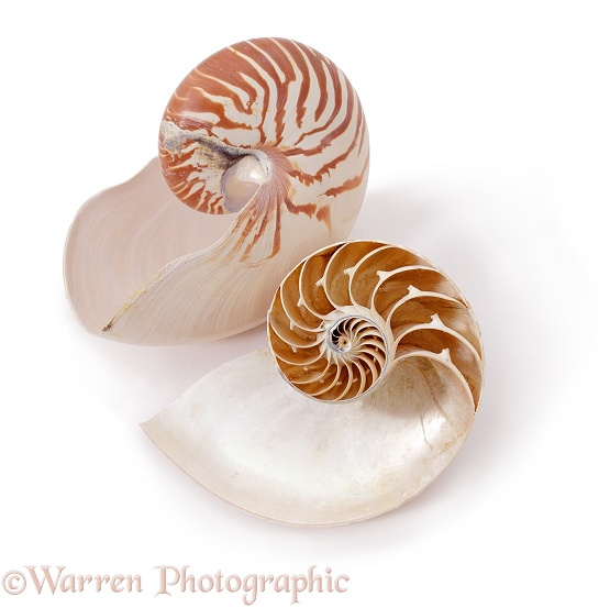 Chambered or Pearly Nautilus (Nautilus pompilius) shells.  Indo-Pacific, white background
