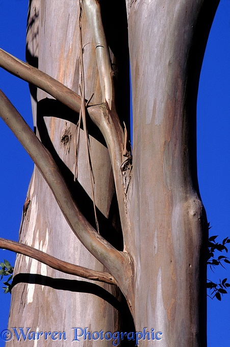 Eucalyptus trunk.  New Zealand