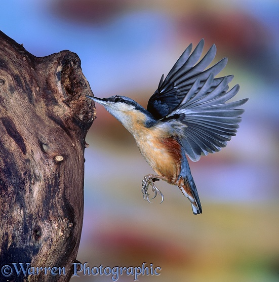 Nuthatch (Sitta europaea) flying up to hole