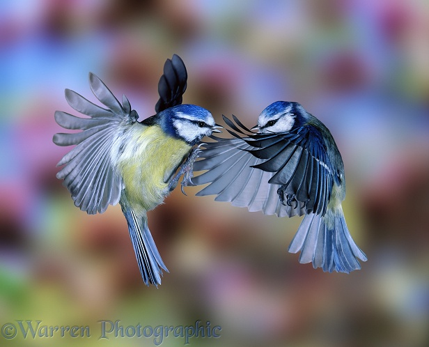 Blue Tits (Parus caeruleus) fighting in mid air