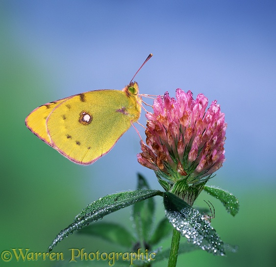 Clouded Yellow (Colias croceus) on clover.  Europe